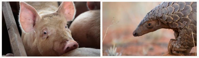pig and pandolin